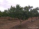 Саженцы фисташки (Pistacia vera), фото 3