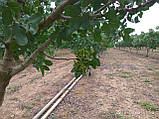 Саженцы фисташки (Pistacia vera), фото 4