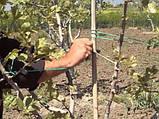Саженцы фисташки (Pistacia vera), фото 5