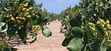 Саженцы фисташки (Pistacia vera), фото 6