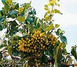 Саженцы фисташки (Pistacia vera), фото 7