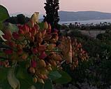 Саженцы фисташки (Pistacia vera), фото 8