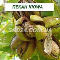 Саженцы ореха Пекан Kiowa, однолетние