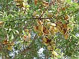 Саженцы миндаля сорт Marinada, фото 3
