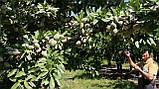 Саженцы миндаля сорт Marinada, фото 5