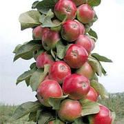 Саженцы яблоня Джин КВ-5 колоновидная (Двухлетка)