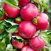 Саженцы яблоня Арбат колоновидная (Однолетка)