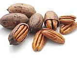 Саженцы ореха Пекан сорт Pawnee, фото 3