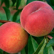 Саженцы персик Подарок невесте ранний