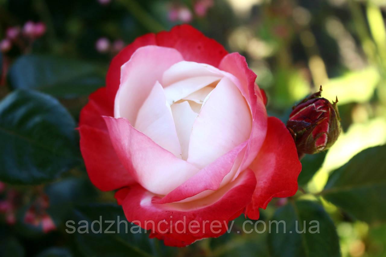 Саджанці троянд Ностальгія (Nostalgie)
