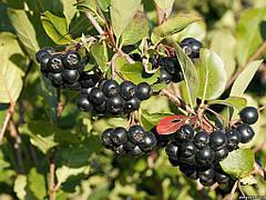 Советы по посадке и уходу за черноплодной рябиной