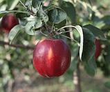 Яблоня Моди. (М.9). (с). Зимний сорт., фото 2