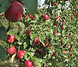 Яблоня Моди. (М.9). (с). Зимний сорт., фото 3