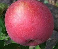 Саженцы яблони Флорина. (54-118). Зимний сорт., фото 1