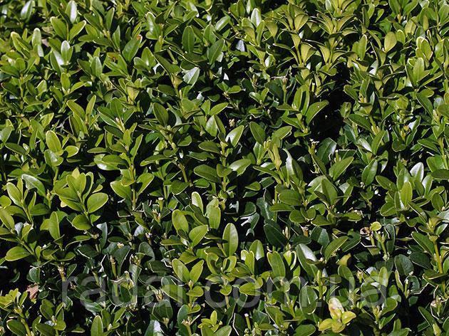 Самшит вечнозеленый С5 (BUXUS SEMPERVIRENS)