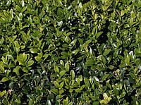 Самшит вечнозеленый С5 (BUXUS SEMPERVIRENS), фото 1