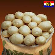 Семенной картофель Орла / Насіннєва картопля Орла, вага мішка 20 кг