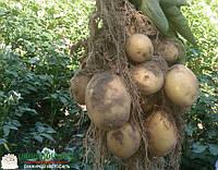 Семенной картофель Электра / Насіннєва картопля Електра, вага мішка 25 кг