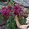 "Лилия Purple Prince Лилия Гигант. ""Лилейное дерево"""