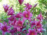 """Лилия Purple Prince Лилия Гигант. """"Лилейное дерево"""", фото 3"""