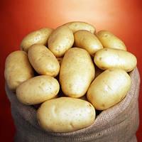 Семенная картофель Маверик / Насіннєва картопля Маверік, вага мішка 20 кг