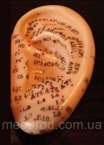 Модель уха 7 см в натуральную величину c точками, акупунктурный муляж ухо