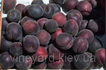 абрикос, гибрид, слива, персик, бордовый, красномясый, сладкий, черный принц, вкусный, зимостойкий, крупный, экзотический, саженцы, по Украине, цветение, ранний, средний, поздний, дорогой, черешня, вишня, виноград, карликовый, подвой, Бест, Пумиселект, Вавит, яблоня, груша, личное подсобное хозяйство, Костинский, Фелпс, Энджой, Нимфа, Юбилейный Федченковой, Бордо, груша, чистый