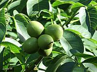 Как посадить грецкий орех саженцем, всё о выращивании культуры