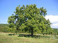 Как посадить грецкий орех и получить хороший урожай