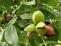 Посадка грецкого ореха в открытый грунт в Украине