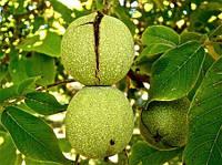 Как посадить грецкий орех из ореха осенью в открытый грунт