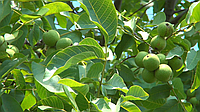 Как растёт орех, какие условия нужны для хорошего урожая