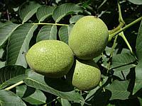 Урожайность грецкого ореха в Украине
