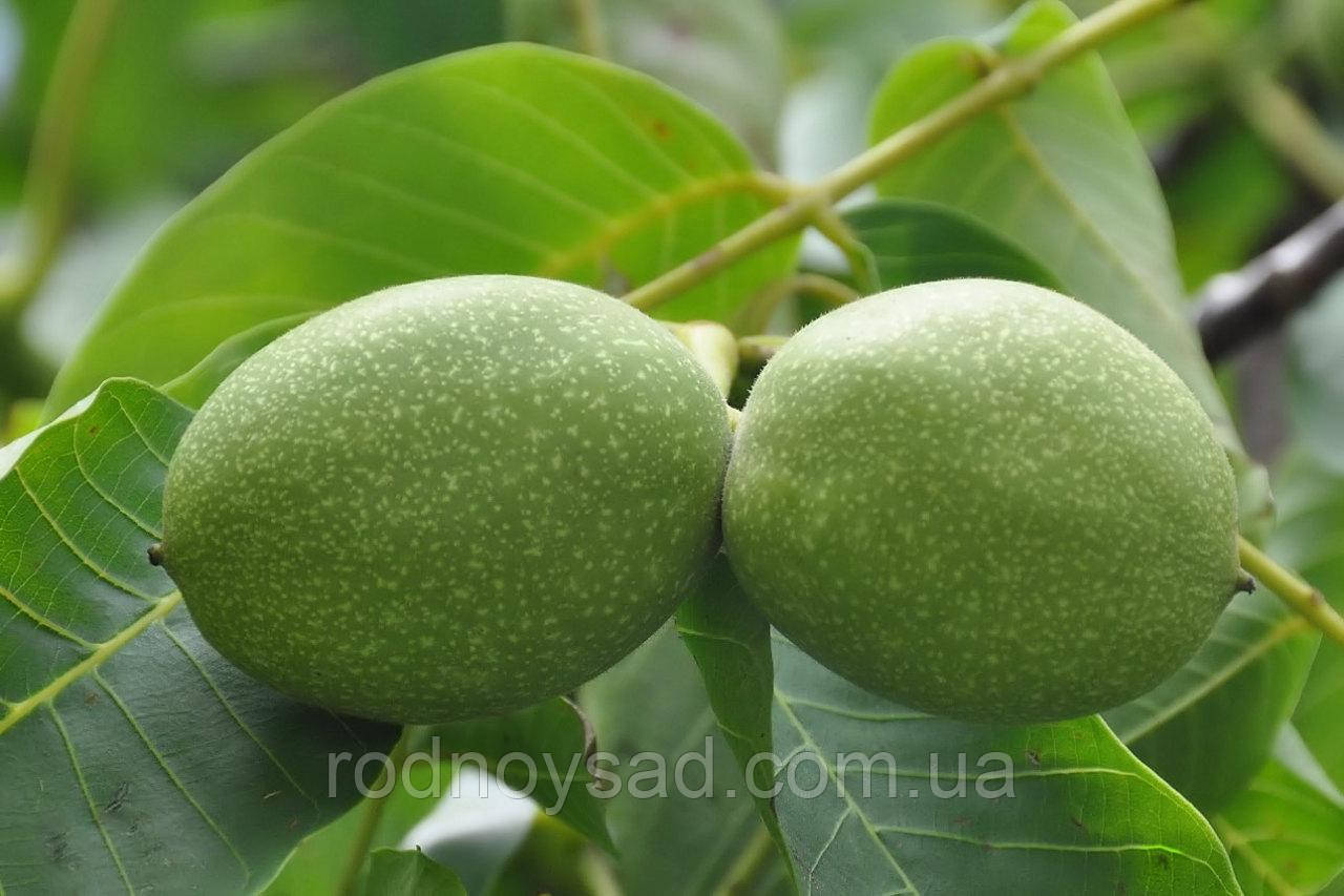 Как размножается грецкий орех, выращивание растения в Украине