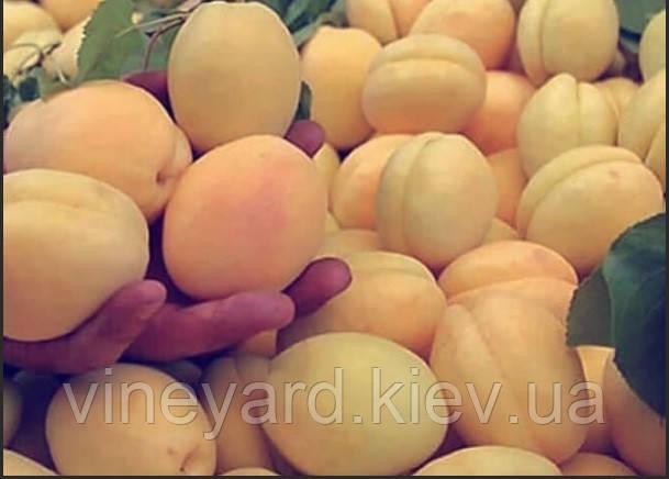 крупный, белый, сладкий, сочный, рыночный, устойчивый, ранний, сравнить, слива, питомник, малина, Мартусовка, Борисполь, рассадник, поштучно, контейнер, крупномер, цветение, агроном, фрукты, овощи, дерево, кустарник, обрезка, опрыскивание, пестицид, монилиоз, серая гниль, заморозок, черешня, черный принц, лапинз