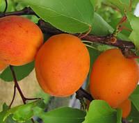 Саженцы  абрикоса  Голд Рич. (вс). Подвой пумиселект.