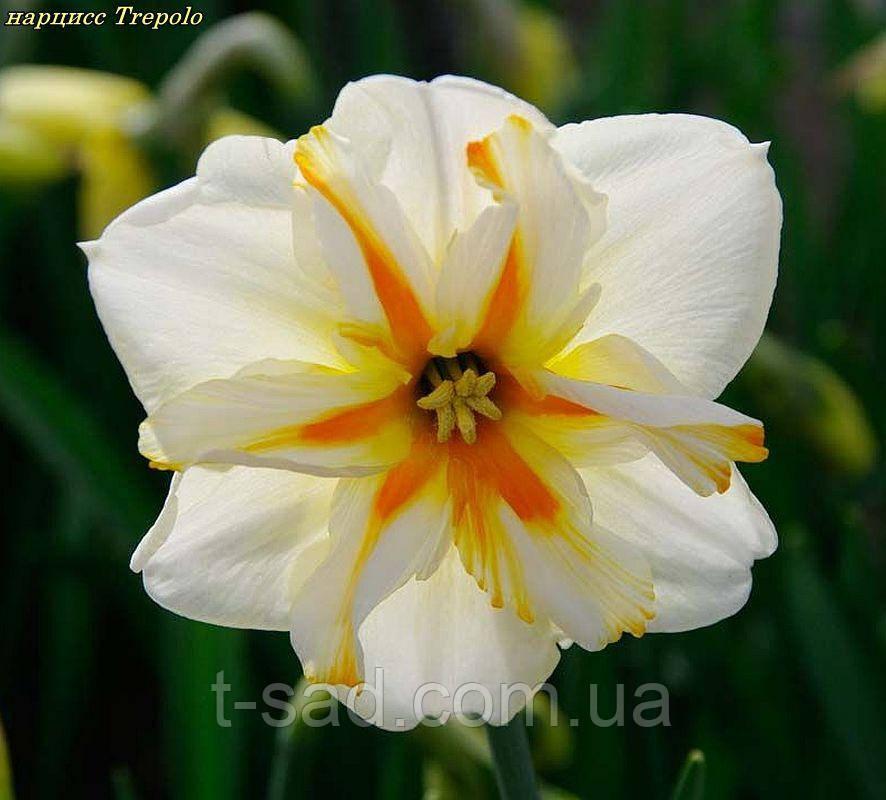 Нарцисс Trepolo (Треполо) крупнокорончатый