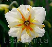 Нарцис Trepolo (Треполо) крупнокорончатый