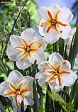 Нарцисс Trepolo (Треполо) крупнокорончатый, фото 3