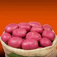 Семенной картофель Инфинити / Насіннєва картопля Інфініті, вага мішка 20 кг