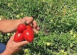 Велоз F1 1000 шт семена сливки низкорослой Seminis Голландия, фото 3