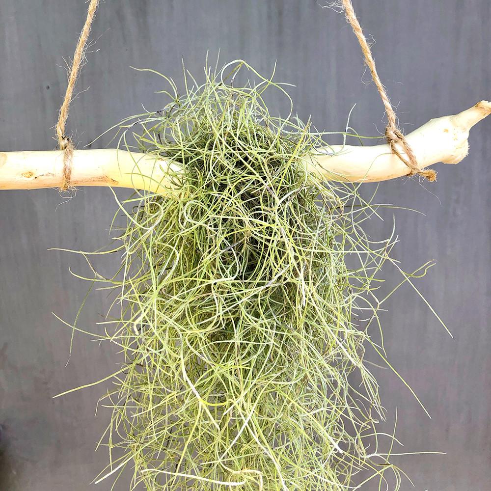 Тилландсия атмосферная уснеевидная (Tillandsia usneoides), Луизиа́нский мох
