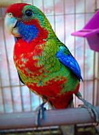 Папуга Пенантовая Розелла (пташенята)