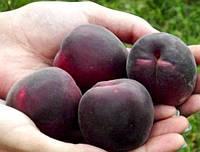Саджанці абрикосу Чорний Принц (Шлор Циран), фото 1