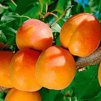 Саджанці арикосу Шедевр (середньоспілий сорт), фото 1