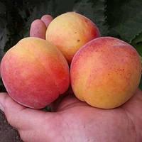 Саджанці абрикосу Красень Києва (пізньоспілий сорт)