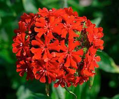 Семена Лихнис Халцедонский красный 0,2 г, Елітсортнасіння (Украина)