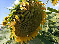 Семена подсолнечника Альдазор