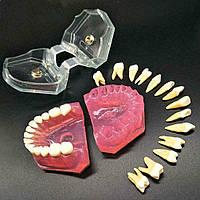 Модель зубов демонстрационная, съемные зубы