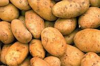 Как выращивать картофель сорта Бриз